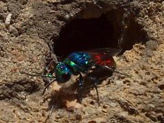 Chrysis ignita (Linnaeus, 1761) - Ruby-tailed Wasp (Peter M Greenwood) Tags: wasp chrysis chrysisignita rubytailedwasp ignita rubytailed