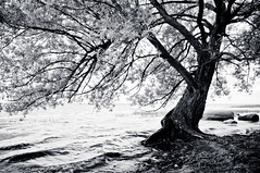 thirst (stephane (montreal)) Tags: bw white black tree nature water river de eau noir nb stlawrence et arbre saintbernard parc blanc saintlaurent stephane fleuve paquet lile 2011