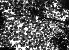 (Rafael A. Rodrguez) Tags: above trees sky blackandwhite art leaves digital forest canon landscape puertorico branches lookingup elyunque rafael alejandro rafaelalejandro rafaelalejandrorodrguez