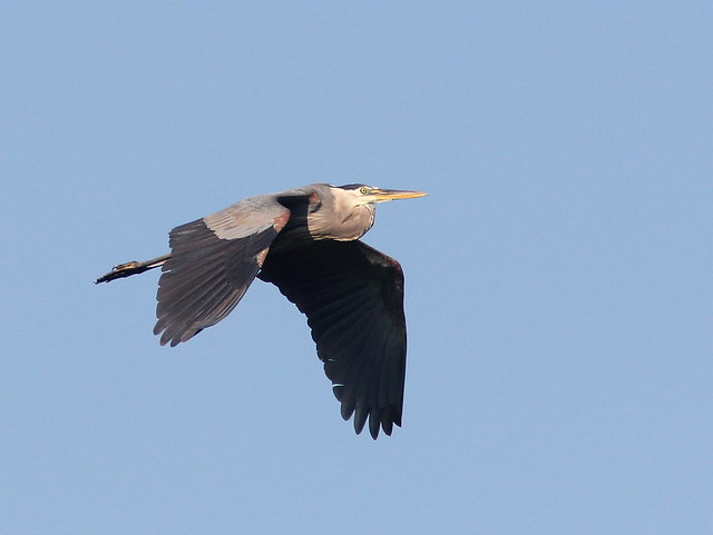 Great Blue Heron 20110706