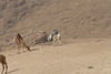 Berber_and_Camels_Beer_Sheeba_IL_2007_01_20 024.jpg