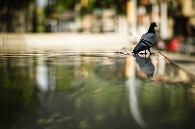 pigeon's reflex