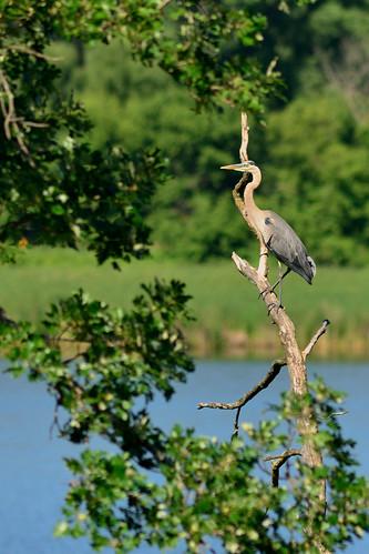 Great Blue Heron DSC_1095