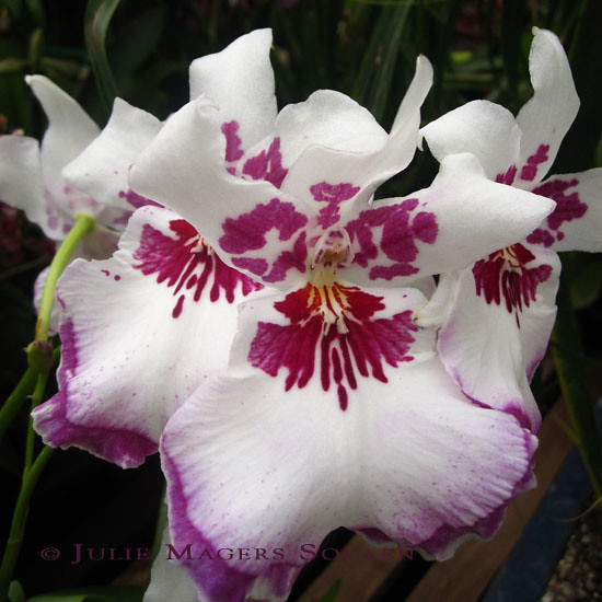 White and Magenta Orchid