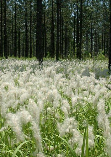 Cogongrass, a nonnative invasive plant, infesting a southern pine plantation. (photo by Chris Evans, courtesy of Forestry Images)