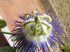 Passiflora retipetala (Andre_Cardoso) Tags: brazil brasil amazon pa passiflora passifloraceae amazônia passifloraretipetala