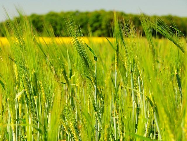 Barley gold