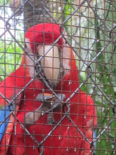 Macaw eats an almond
