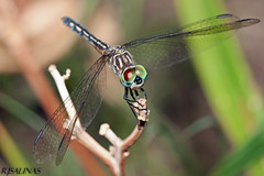 blue dasher female (robert salinas) Tags: blue austin insect dragonflies dragonfly bigma sigma dasher odonata extensiontubes a700
