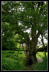 the wood began to move (goldie*) Tags: scotland oak birnam