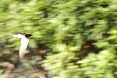 Panning of a swallow (Takashi(aes256)) Tags: bird motionblur swallow panning 鳥 ツバメ 流し撮り 燕 水元公園 mizumotopark canoneos7d canonef100mmf28lmacroisusm
