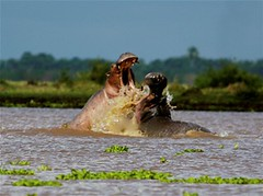 Hippos (TheSafariCollection) Tags: africa kenya bigfive masaimara eastafrica wildebeestmigration luxurytentedcamp salascamp