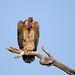Rueppell's Griffon Vulture