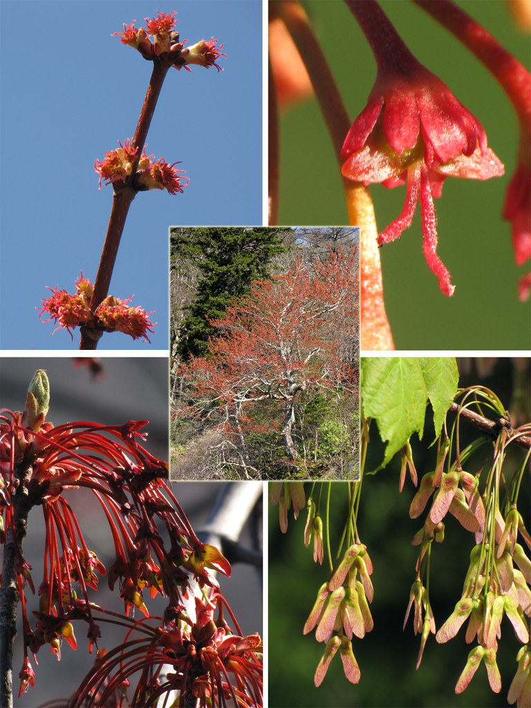 Red Maple Seed Development