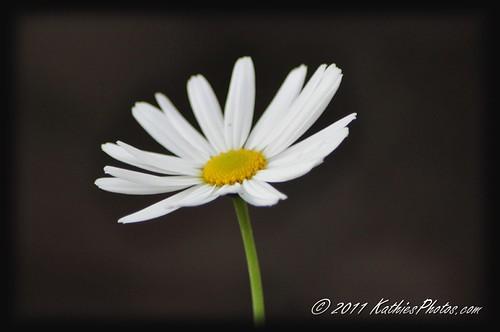 201-365 White Daisy