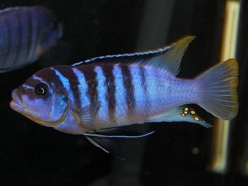 "Metriaclima sp ""zebra chilumba"" 'Luwino Reef'"