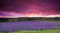 Lavender at Sunset (Olly Plumstead) Tags: pink sunset 3 field canon landscape kent high bravo purple lavender sigma iso 1600 stop filter handheld olly 1020 hitch graduated density neutral gnd o9 450d enysford rgnd plummeted
