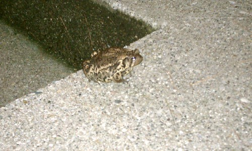 Ptw A frog on our porch
