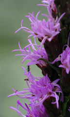 Ants Love Purple, Too (BlueRidgeKitties) Tags: plant flower insect purple ant northcarolina botany wildflower asteraceae liatris endangeredspecies grandfathermountain westernnorthcarolina southernappalachians ccbyncsa plantinsectinteraction canonpowershotsx10is liatrishelleri hellersblazingstar