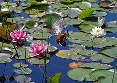 Pink & White Water Lillies (Clara Johnson) Tags: vancouver bc stanleypark beaverlake