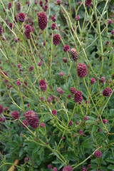 SANGUISORBA applanata