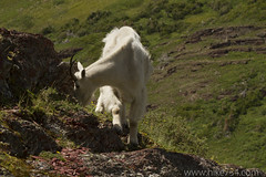 "Mountain Goat • <a style=""font-size:0.8em;"" href=""http://www.flickr.com/photos/63501323@N07/5982184301/"" target=""_blank"">View on Flickr</a>"