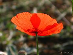 Bonheur (Domi Rolland ) Tags: france nature fleur canon rouge bonheur tendresse millau douceur aveyron 2011 midipyrnes g9 caresse soulobres