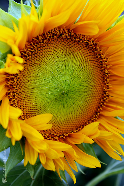 Подсолнух Санспот (Sunspot), Подсолнечник однолетний —  Sunflower 'Sunspot' (dwarf Sunflower), Helianthus annus