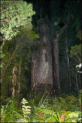 The Waipoua Forest, Te Matua Ngahere (Father of the Forest), oldest and largest tree in New Zealand