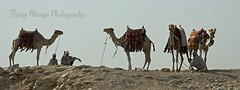 Pyramids of Giza (flying mango photo) Tags: flying mango camels priebe shaleah pyramidsofgiza flyingmangophotographyflyingmangotravelegypt shaleahpriebetravel