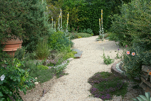 verbascum and gravel path