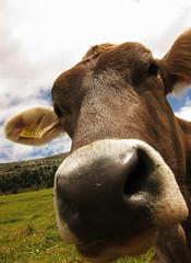 Mooh! (Dadschaen) Tags: summer italy mountain alps grass animal kuh cow tirol meadow alm alpen dolomites dolomiti braies muh s90 dolomiten mooh pustertal prags pusteria pltzwiese