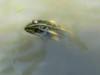 rana comune a villa giulia