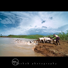 Meah |  (ayashok photography) Tags: india man water nikon cattle sheep indian july dude tamilnadu 2011 ruralindia thenkasi ayashok nikond300 tokina1116mm aya9337sharpv3
