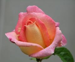 Misty Peace Rosebud. 31.07.11 (strawberry1946) Tags: silveramazingdetail