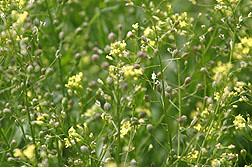 ARS scientists are studying the potential of camelina as a source of biofuel for jets. Photo courtesy of Robert Evans, ARS.