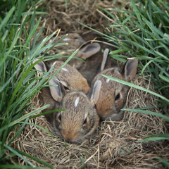 . (undomestic) Tags: rabbits cottontail 15weeksold brushrabbit rabbitkits