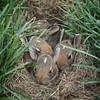 . (undomestic) Tags: rabbits cottontail 15weeksold brushrabbit rabbitkits