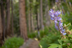 Lupins ont he Panorama Trail