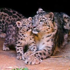 [Free Image] Animals, Mammalia, Leopard / Panther, Snow Leopard, Family / Parent and Child (Animals) 201109290700