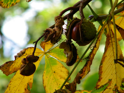 Chestnut Ripening on Tree - Kastanien reifen am Baume by abracacamera