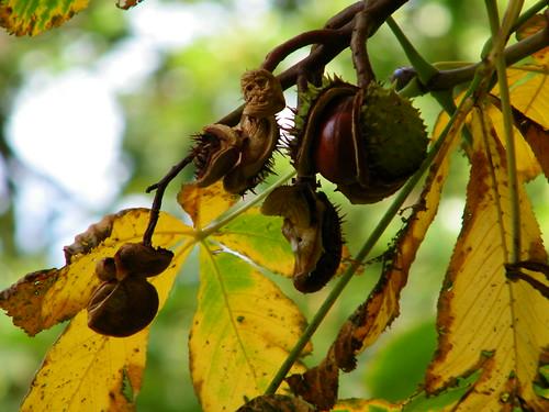 Chestnut Ripening on Tree - Kastanien reifen am Baume by abracacamera