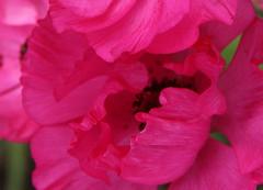 pink ruffles... (gemini*jen) Tags: pink flower macro garden spring niceshot ranunculus wow1 ringexcellence