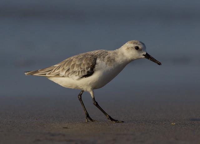sanderling stop