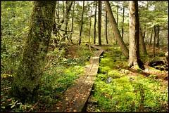 GREEN SYMPHONY, II (susies.genii) Tags: trees forest moss scenery boardwalk ferns bog greenbeautyforlife