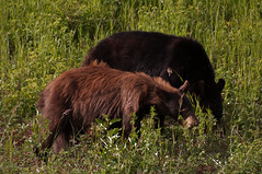 Black Bear and Cub (tylerhuestis) Tags: bear blackbear alaskahighway bearcub