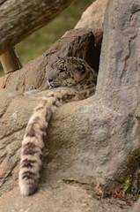 Snow Leopard (mellting) Tags: animal mammal zoo nikon tail bigcat unciauncia kolmården snowlepard snöleopard sigma70300456 flickrbigcats nikond7000 mellting matsellting