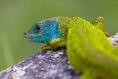 Green Lizard (Chromotron) Tags: nature 70300mm naturalmente colorphotoaward