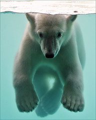 Polar Bear Cub Underwater (Foto Martien) Tags: vicks polarbear ijsbeer oursblanc ourspolaire osoblanco osopolar eisbär ursopolar orsopolare ursobranco polarbär orsobianco ursusmaritimus thalarctosmaritimus swim swimming dive diving zwemmen zwemmend drijven drijvend underwater onderwater borndecember62010 bear beer bär ours geboren6december2010 oso oro björn mammal zoogdier zoorotterdam diergaardeblijdorp zoo dierenpark dierentuin netherlands nederland holland dutch rotterdam zuidholland sonyalpha550 a550 sony70300gssmlens martienuiterweerd martienarnhem fotomartien explored inexplore