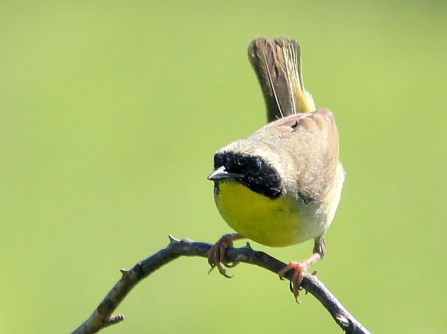 Common Yellowthroat 2-20110706